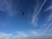 soaring för seagull Royaltyfri Foto