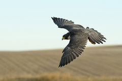 Soaring Falcon. A soaring Peregrine Falcon over the prairie Royalty Free Stock Photos