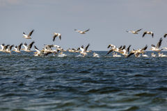 Soaring flock of pink pelicans Stock Image
