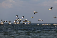 Soaring flock of pink pelicans Stock Images