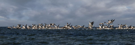 Soaring flock of pink pelicans Stock Photos