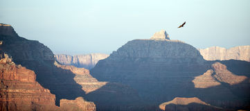 Soaring free raven above Grand Canyon. Royalty Free Stock Photos