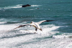 Soaring gannet Stock Photos