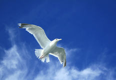 Soaring gull. Spread your wings and take to the sky Royalty Free Stock Image
