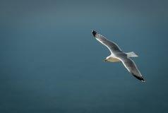 Soaring gull Stock Photo