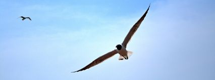 Soaring Gulls. Soaring Sea Gulls pictured against a perfect blue sky Royalty Free Stock Photo