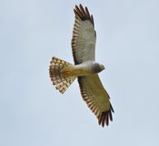 Soaring Hawk Stock Photography