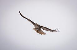 Soaring Hawk Royalty Free Stock Photography