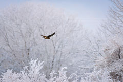Soaring Hawk Royalty Free Stock Photos