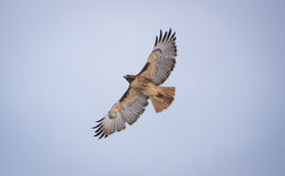 Soaring Hawk. This is a picture of a hawk soaring in the sky royalty free stock photos