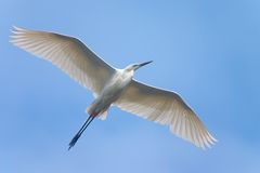 Soaring heron bird Royalty Free Stock Photography