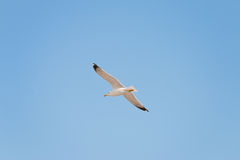 Soaring herring gull Royalty Free Stock Photography