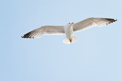 Soaring herring gull Stock Photo