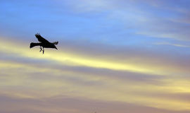 Soaring High. Black bird in sunset sky royalty free stock photography