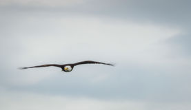 Soaring High. A Bald Eagle in flight Stock Photos