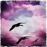 Soaring High. Canadian Geese Soaring high in the sky Royalty Free Stock Photography