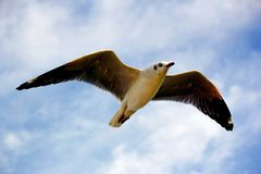 Soaring high under a blue sky. Seagulls are seabirds of the family Laridae. Gulls are typically medium to large birds, usually grey or white, often with black Royalty Free Stock Images