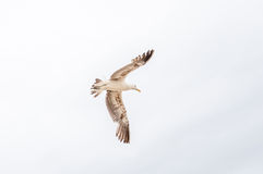 Soaring Kelp Gull Stock Images