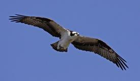 Soaring Osprey Stock Images