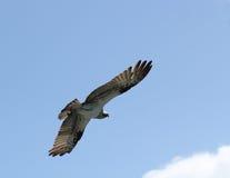Soaring osprey. An osprey soars across the sky Royalty Free Stock Photography