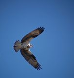 A Soaring Osprey. This image of the soaring osprey was taken as it returned to its nest in NW Montana Stock Images