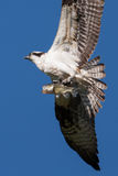 Soaring osprey carrying a fish in it's talons Stock Images