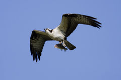 Soaring osprey carrying a fish in it's talons Royalty Free Stock Photography