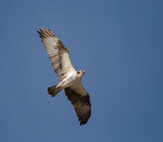 Soaring Osprey Royalty Free Stock Photography