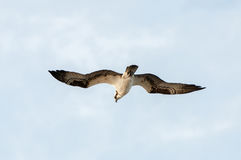Soaring osprey. An osprey soars through the sky in search of prey Stock Image