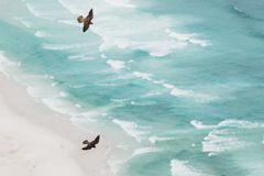 Soaring Peregrine Falcons in Courtship Display high above the Beach. Two Peregrine Falcons soar high above Noordhoek Beach in South Africa. Witnessing this royalty free stock photo