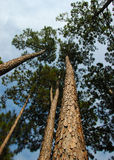 Soaring Pine Trees. Pine trees soaring upward.  There is a blue sky with wispy clouds visible.  The trunks a lit by a warm wetting sun Stock Photos