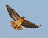 Soaring Red Tail Hawk Stock Image
