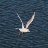 Soaring sea gull Royalty Free Stock Photos