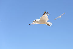 Soaring See Gull. Soaring sea gull, wings spread, flying through the crystal clear blue sky Stock Image
