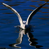 Soaring seagul. Gul flies from water with reflection Stock Photography