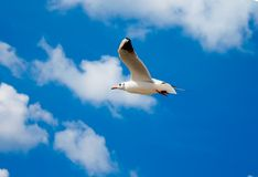 Soaring seagull Stock Photography
