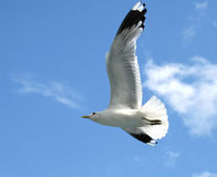 Soaring seagull Royalty Free Stock Image