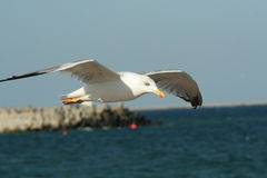 Soaring Seagull Stock Images