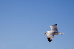 Soaring Seagull Royalty Free Stock Photography