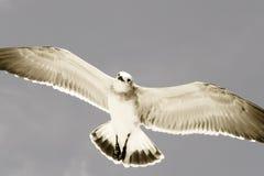 Free Soaring Seagull  Royalty Free Stock Image - 5218066