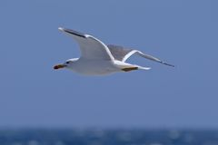 Soaring seagull. Seagull bird flying over sea Stock Photography