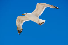 Free Soaring Seagull Stock Photos - 8263423