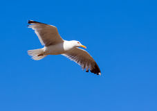 Soaring seagull Stock Image