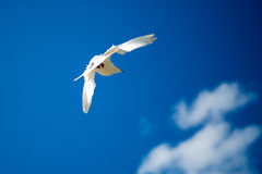 Soaring seagull against blue sky and white clouds Royalty Free Stock Images