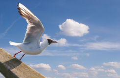 Soaring seagull against the sky Stock Photos