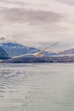 Soaring seagull and glacier Stock Photos