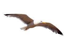 Soaring seagull. Isolated. Over white Stock Images
