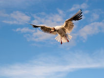 Soaring seagull in light of the setting sun. Soaring seagull in the sky Stock Photo