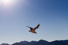Soaring seagull Stock Photos