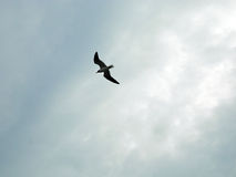 Soaring Seagull. Seagull soaring overhead with overcast sky background Royalty Free Stock Image